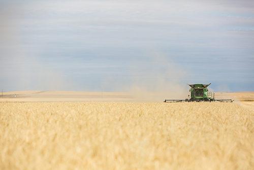 Green combine harvesting wheat in golden field